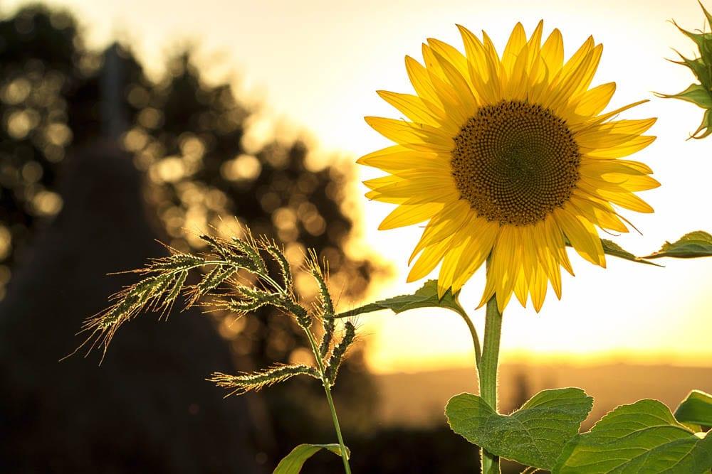 Sunset dandelion closeup